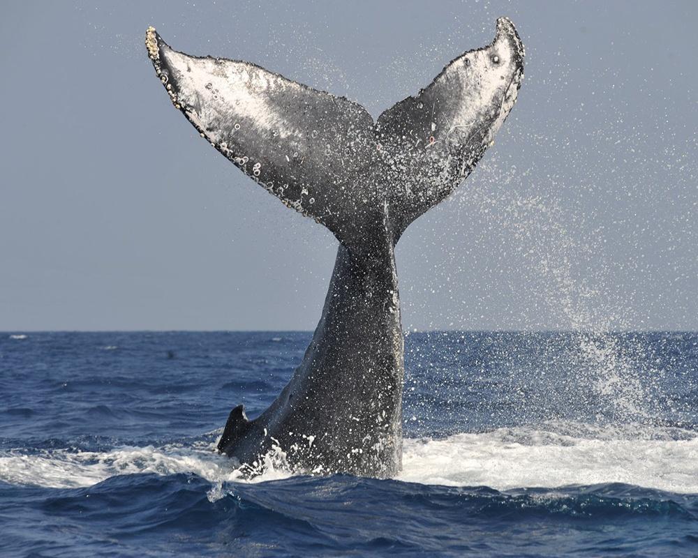 """本物のクジラに会える!クジラ大好き""""清さん""""と行くホエールウォッチングに夢中!"""