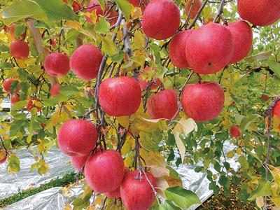 甘さに驚く、樹上で熟した幻のリンゴ/黒田りんご園 (茨城・袋田)