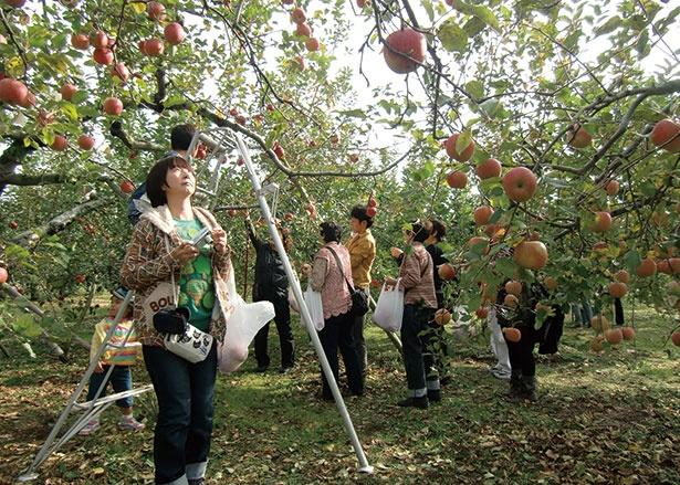 リンゴ園で過ごすプレミアムな休日/滝沢りんご園 (群馬・沼田)