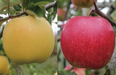 30種の完熟リンゴを栽培/田村りんご園 (群馬・沼田)