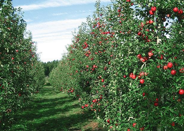 独自の方法で甘いリンゴを栽培/荒牧りんご園 (栃木・宇都宮)