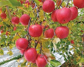 9月~10月から楽しめるリンゴ狩りスポット5選
