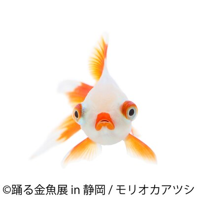 「踊る金魚展」静岡に9月末に初上陸!