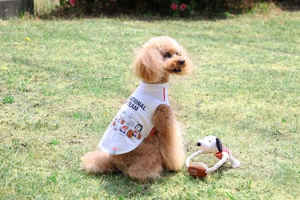 「ラグビー日本代表犬用Tシャツ」(税抜3000円〜)と「ラグビー日本代表犬用ロープトイ」(税抜1500円)