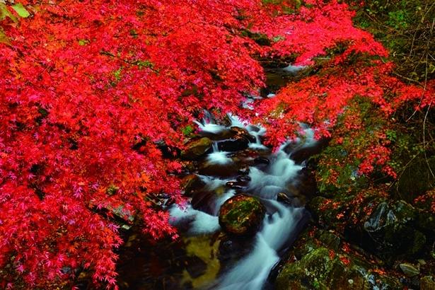 【写真】渓谷を真っ赤に彩る一面の美麗なヤマモミジ