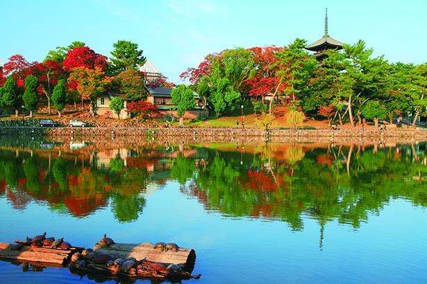 猿沢池越しに眺めると、紅葉と五重の塔が水面に映る景色が!