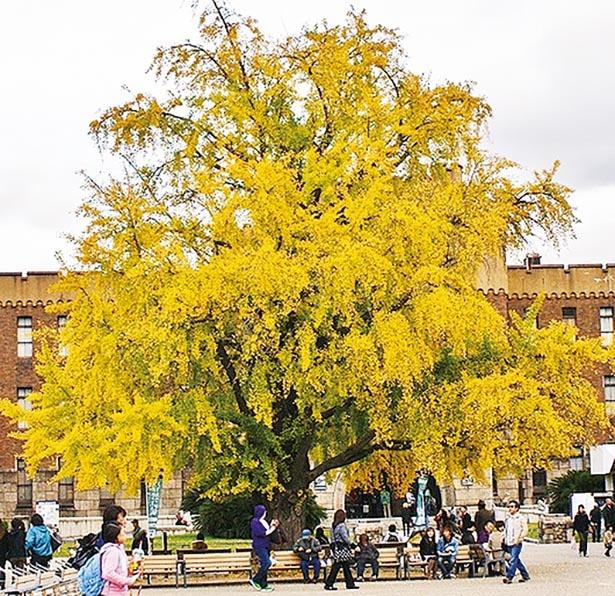 【写真】真っ黄色に色づく天守閣前の樹齢約300年のイチョウの大木
