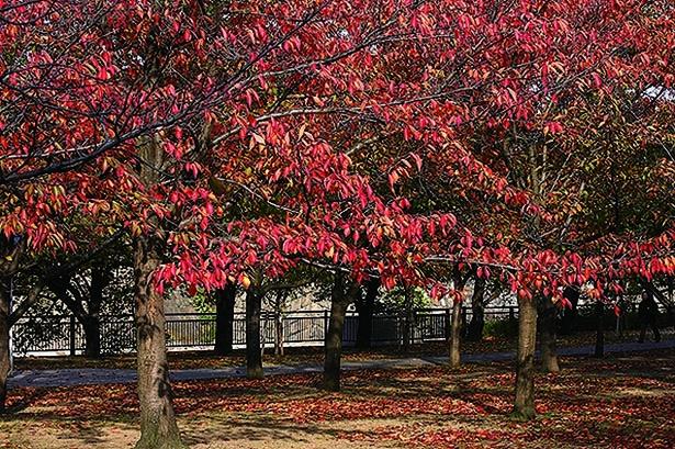 箕面大滝に重なる紅葉が絶景