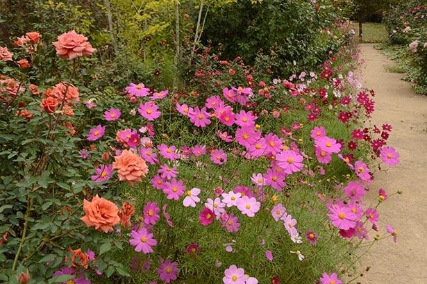 秋に見ごろを迎える花々が楽しめる