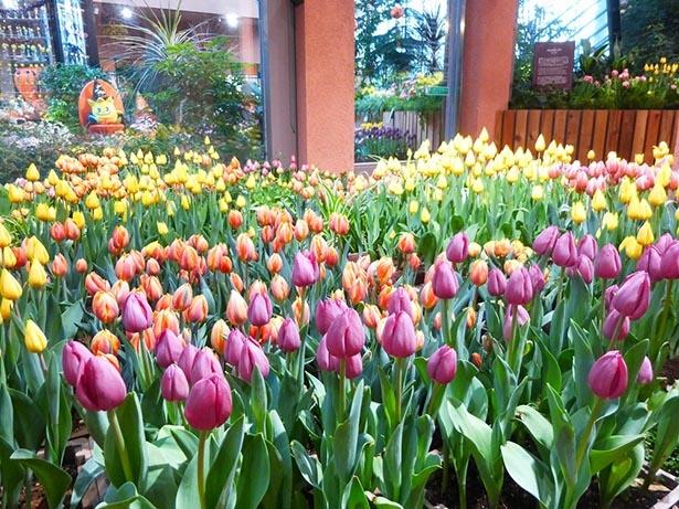 【写真を見る】色とりどりのチューリップが咲く