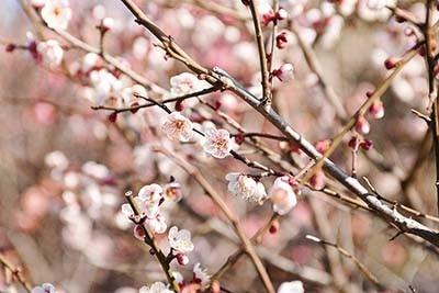 「亀戸天神社」は、ピンクや紅白など、約50種の色鮮やかな花が埋め尽くす