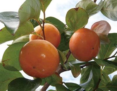 品種ごとの味わいを食べ比べ/やさと観光果樹組合三宝園 (茨城・石岡)
