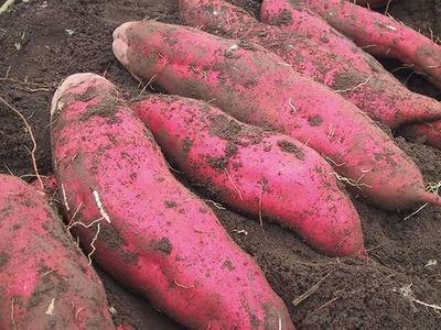 採ったサツマイモは園内調理できる/荒幡農園 (埼玉・南大塚)