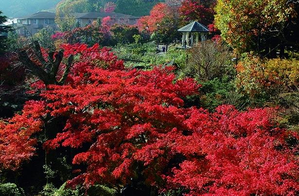 秋バラとの競演も楽しめる箱根の紅葉名所