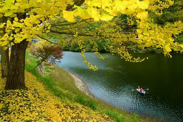 【写真】まるで絵本の中の世界 一面真っ黄色に染まったイチョウ景色