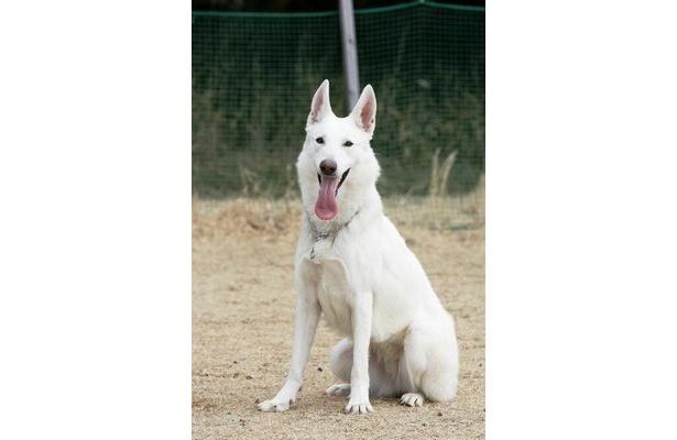【写真】警備犬のシロ。事件捜査を支援する警察犬と違い、災害救助や犯人の制圧行動が主な役目