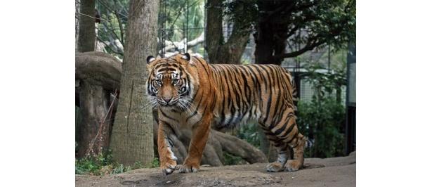 1月に新顔のスマトラトラが公開された恩賜上野動物園など、32施設で特典あり!