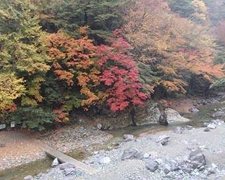 澄んだ水と木々が織りなす秋の絶景!高知県の安居渓谷の紅葉が見ごろを迎える