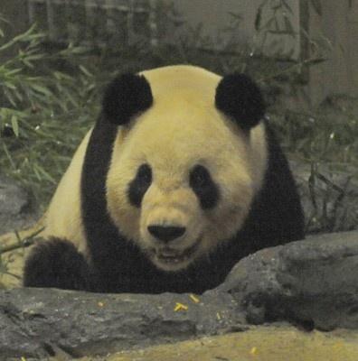 """日本中が""""パンダフィーバー""""に湧く中、2頭の現在の様子から、知られざるパンダの生態まで、気になる""""パンダの疑問""""を徹底解明!"""
