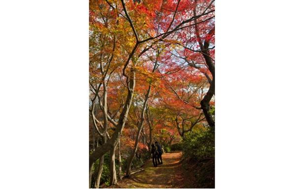 日本の原風景が広がる公園を錦絵のように染めるモミジ / 白野江植物公園