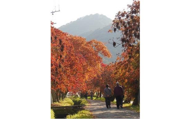 燃えるようなハゼの風格ある並木道 / 柳坂曽根の櫨並木