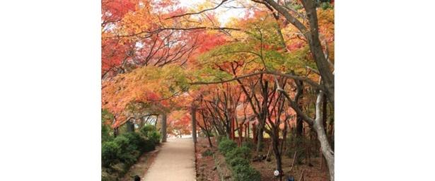 参道が紅葉のトンネルに / 竈門神社