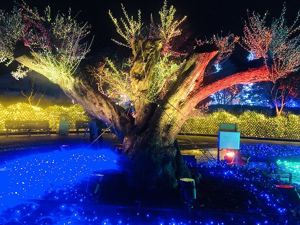 6月にスペインからやってきた巨木オリーブがライトアップされる