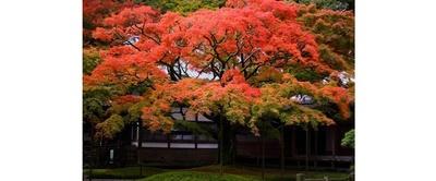 雷山の秋を彩る樹齢400年の大楓 / 雷山千如寺大悲王院