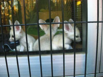 フェネック舎では、なかよくじゃれる3頭を見る事ができる