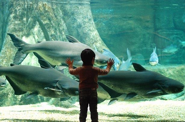 世界最大級の淡水魚「メコンオオナマズ」の展示も行われている