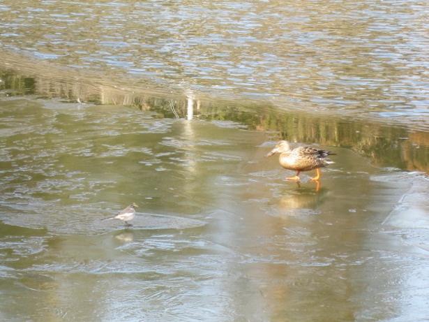 真冬には野鳥が凍った水面を歩く姿が見られることも