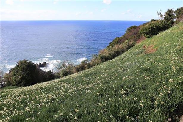 【写真を見る】約60〜70ヘクタールと日本一の広さを誇る越前海岸の群生地
