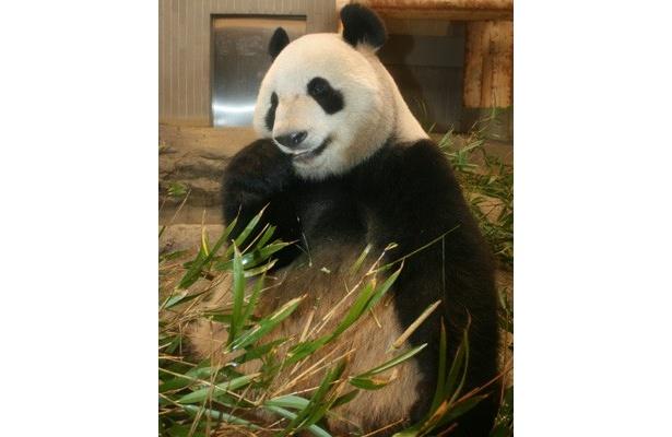 上野動物園の休園に伴い、延期になっていた2頭のパンダの一般公開が4月1日に決定!