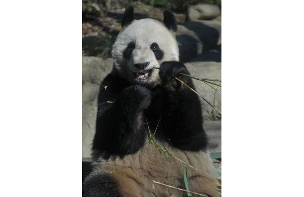 【写真】こんなにかわいい! その他のパンダ画像