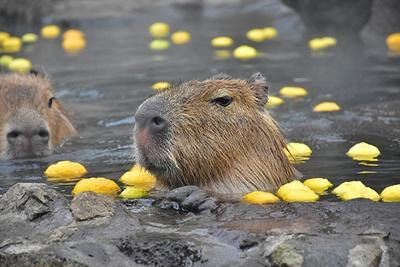冬至の時期に開催される「カピバラのゆず湯」