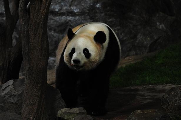 フリーエリアでは、パンダたちが夜に動きまわる貴重な姿が見られる
