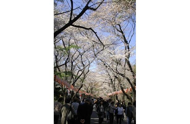 満開を迎えた桜。停滞気味の日本に久しぶりの明るいニュースとなりそうだ