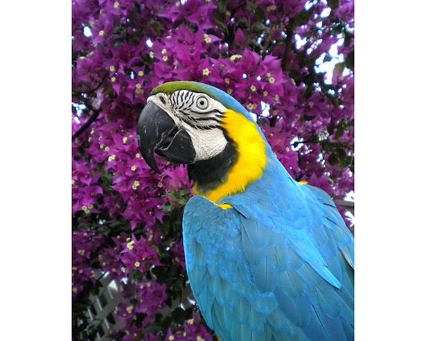鮮やかな色合いのルリコンゴウインコ