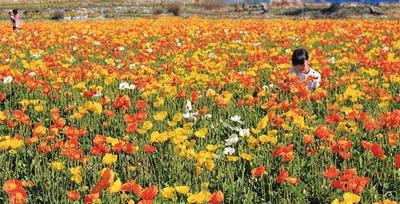 関東最大級の100万本のポピーが咲き誇る