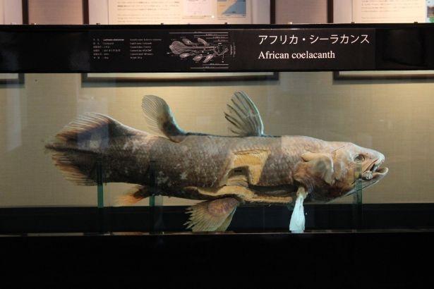 ノミネート魚の中で最古参の「シーラカンス」。アクアマリンふくしまでは2種類の標本を展示
