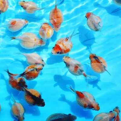 【写真】令和初の流行魚大賞を獲得したチョウチンパールのほか、個性的な魚が続々選出