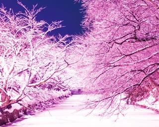 「ソメイヨシノを冬でも満開にしたい」という思いから、クラウドファンディングで実現。サクラの枝や結氷した水面に積もった雪がピンク色に照らされる