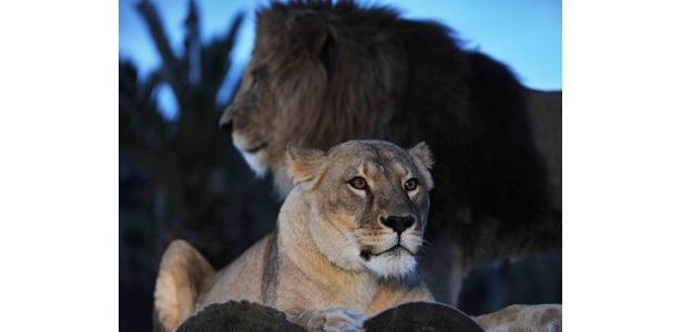 「ナイトサファリ」では、夜行性のライオンの活動的な姿を見ることができる
