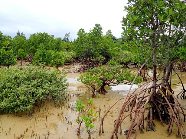国内では沖縄県や鹿児島県でしか見ることができないマングローブ林。写真だとなんだか地味ですか?でも、もう非日常のひと時が始まっています。やがじワールドへ!