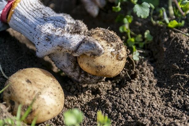 土の中からは大きなジャガイモがゴロゴロ