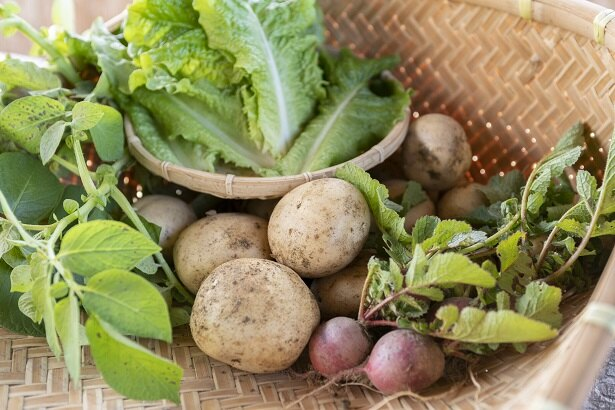 サンチュ、ジャガイモのほか、ご厚意で追加収穫させてもらったラディッシュ