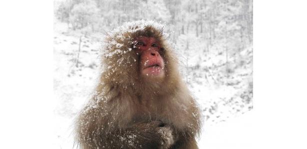 長野・登別の温泉に浸かる日本サルの移住の謎を追跡(6月放送予定)