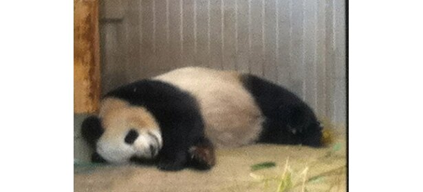 こんなかわいい姿が見られるかも!① ぐっすり眠っている「シンシン」