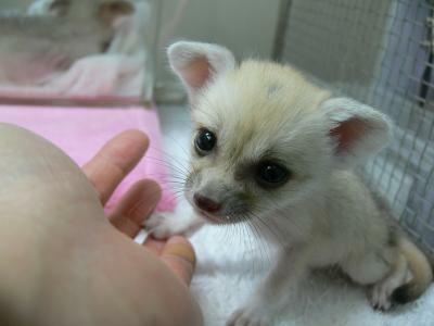 生まれたてのかわいいフェネックがお出迎え。(井の頭自然文化園)