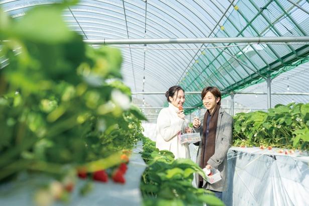 福岡県京都郡「まっちゃん いちご園」ではハウスとテラスで4品種を食べまくり!
